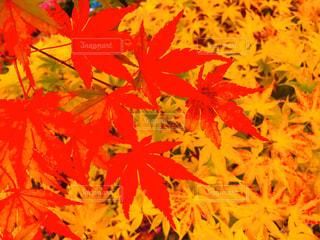 綺麗な紅葉の写真・画像素材[2800058]