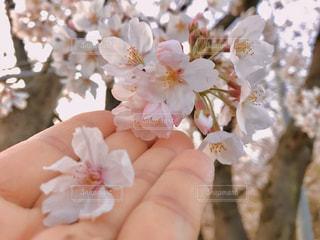 桜の写真・画像素材[3085605]