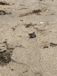 ウミガメの放流の写真・画像素材[726177]