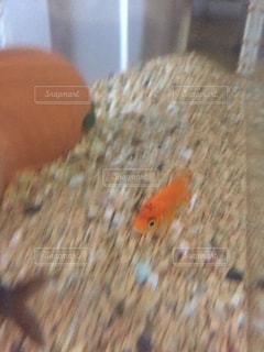 オレンジ色の魚の口を開いての写真・画像素材[726199]