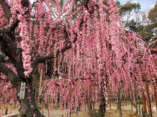 枝垂れ梅の写真・画像素材[1820323]