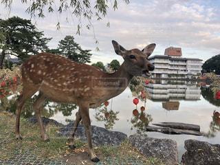 水鏡と鹿の写真・画像素材[1879943]