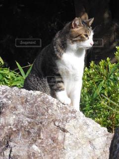 岩の上に座っている猫の写真・画像素材[727840]