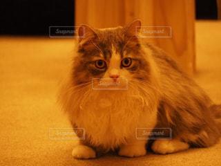 カメラを見ている猫の写真・画像素材[947739]