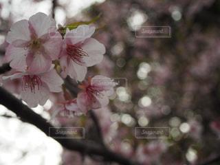 桜の写真・画像素材[1044252]