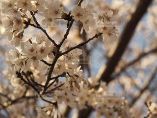 桜の花の写真・画像素材[1082215]