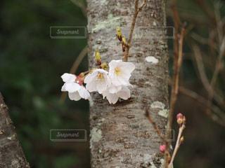 植物の白い花の写真・画像素材[1082217]