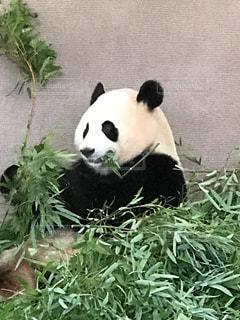 笹を食べてるパンダの写真・画像素材[728059]