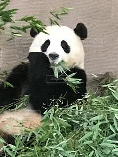笹を食べるパンダの写真・画像素材[728060]