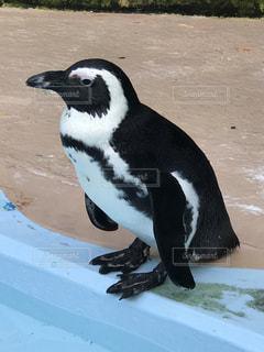 ペンギンの横顔の写真・画像素材[728061]