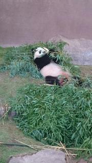 草に横たわっているパンダ - No.728064