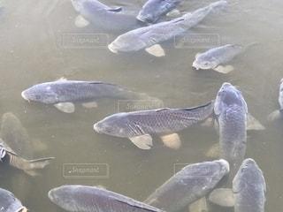 池に鯉の写真・画像素材[1229274]