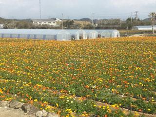 フィールド内の黄色の花の写真・画像素材[728943]