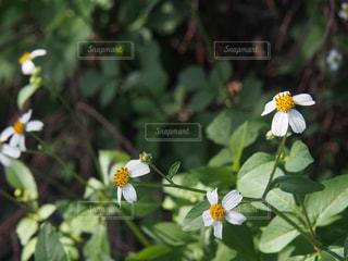奄美群島に咲く白い花の写真・画像素材[1562917]