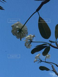 frangipaniの写真・画像素材[729480]