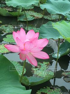 水の中から成長している緑の植物の写真・画像素材[729215]