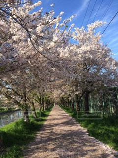 桜並木の写真・画像素材[729719]