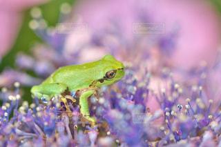 紫陽花の花の上のカエルの写真・画像素材[731241]