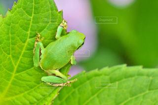 紫陽花の葉につかまっているカエルの写真・画像素材[731246]