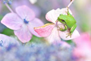アジサイの花に座っているカエルの写真・画像素材[731247]