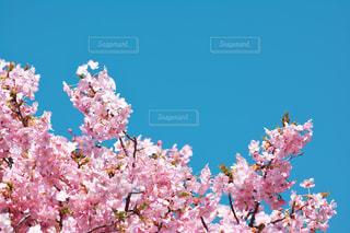 桜の花と青空の写真・画像素材[731286]