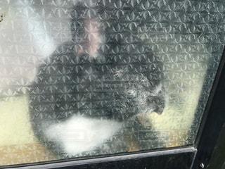 窓に顔をつけて寝るフレンチブルドッグの写真・画像素材[743473]