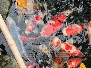 群がる鯉の写真・画像素材[730248]