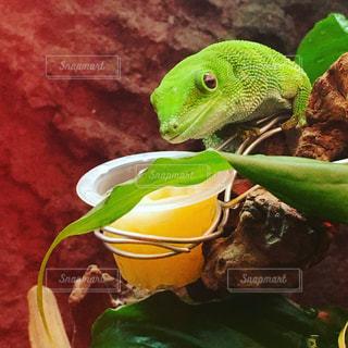 緑のトカゲの写真・画像素材[730381]