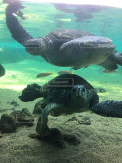 水の下で泳ぐ海亀 - No.730401