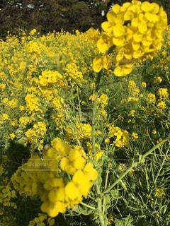 黄色の菜の花畑 - No.732598