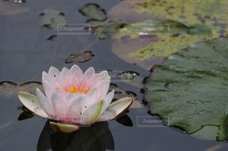 近くに池のアップの写真・画像素材[730459]