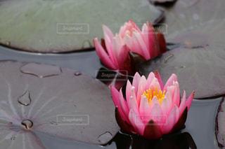 ピンクの花のグループの写真・画像素材[736094]