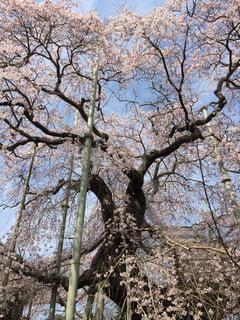 般若院の枝垂れ桜3の写真・画像素材[1084663]