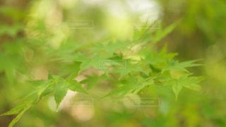 青もみじ♡の写真・画像素材[731261]