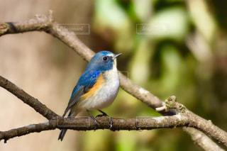 青い小鳥が木の枝に腰掛けの写真・画像素材[731799]