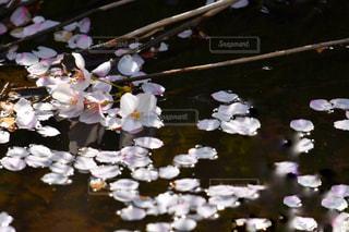 花筏の写真・画像素材[983352]