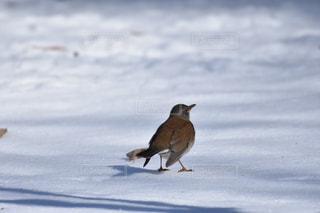 シロハラと雪の写真・画像素材[1036037]
