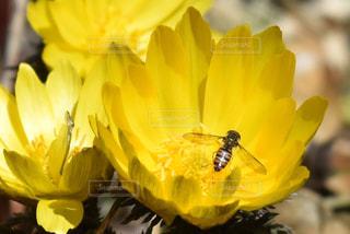 福寿草とハチの写真・画像素材[1036043]
