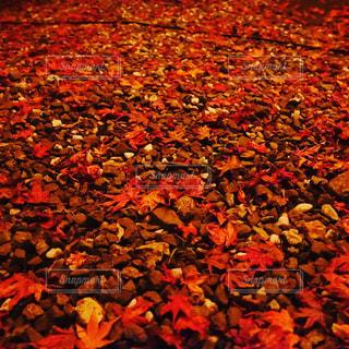 赤絨毯の様な落ち葉たちの写真・画像素材[1643898]