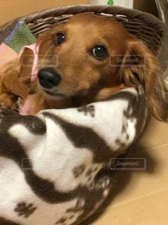 カメラを見て茶色と白犬の写真・画像素材[1645335]