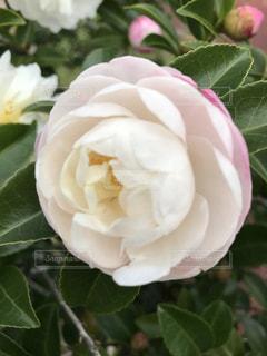 一輪の花の写真・画像素材[1792496]