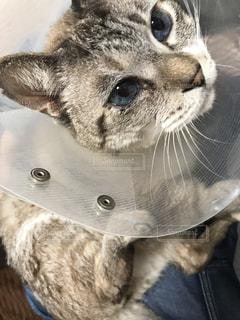 エリザベスカラーをしている猫の写真・画像素材[2804374]