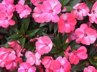 近くにピンクの花の束のアップの写真・画像素材[768504]
