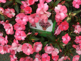 近くにピンクの花の束のアップの写真・画像素材[768507]