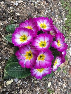 うちの丈夫な花の写真・画像素材[1093533]