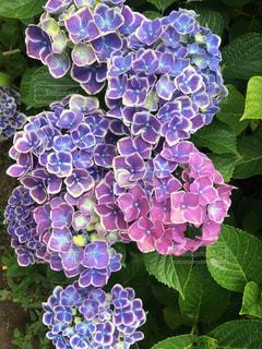 近くの紫の花と緑の葉の束の写真・画像素材[1236721]