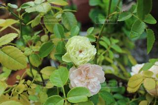 緑の葉とバラの写真・画像素材[731873]
