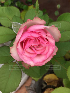 庭のバラの写真・画像素材[731878]