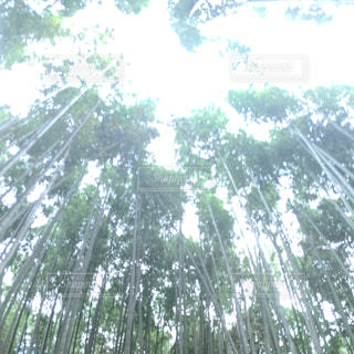 竹林の写真・画像素材[732040]