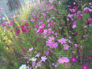 大きな紫色の花は、庭 - No.740362